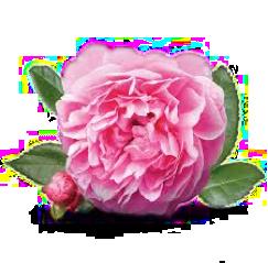 almaye-ingredient-rose-de-damas